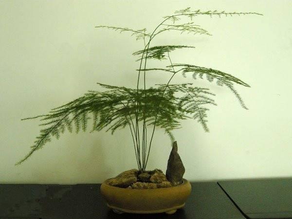 文竹盆景图片图片