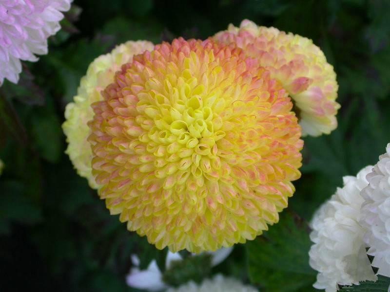 圆滚滚的乒乓菊