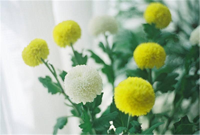 花中运动乒乓菊