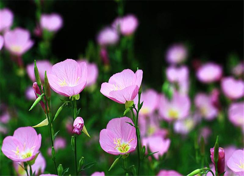 花儿映月——月见草