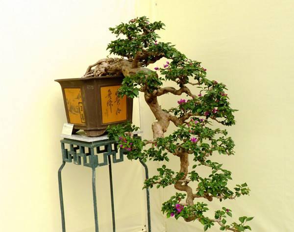 三角梅盆景图片
