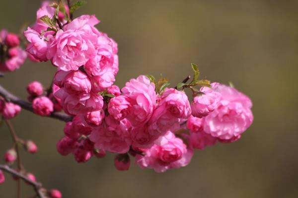 榆叶梅的美图