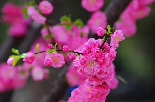 榆叶梅的图片