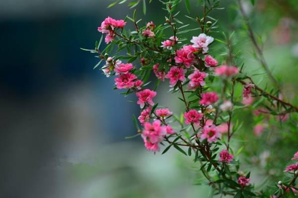 松红梅的图片