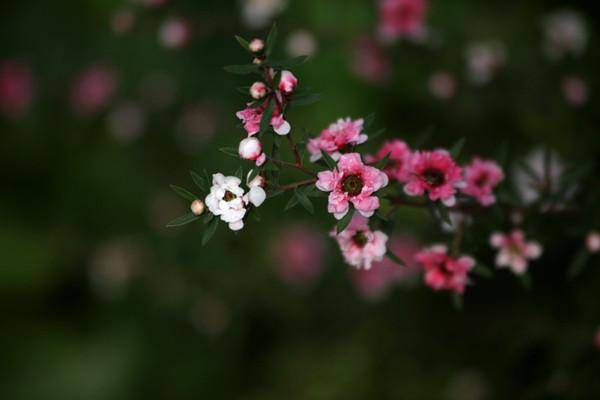 松红梅的美图