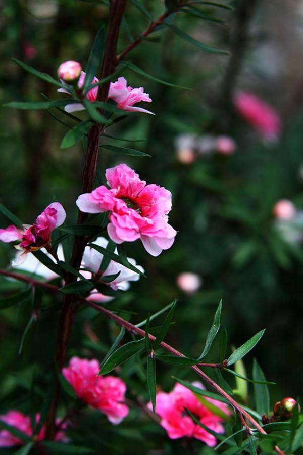 松叶牡丹——松红梅