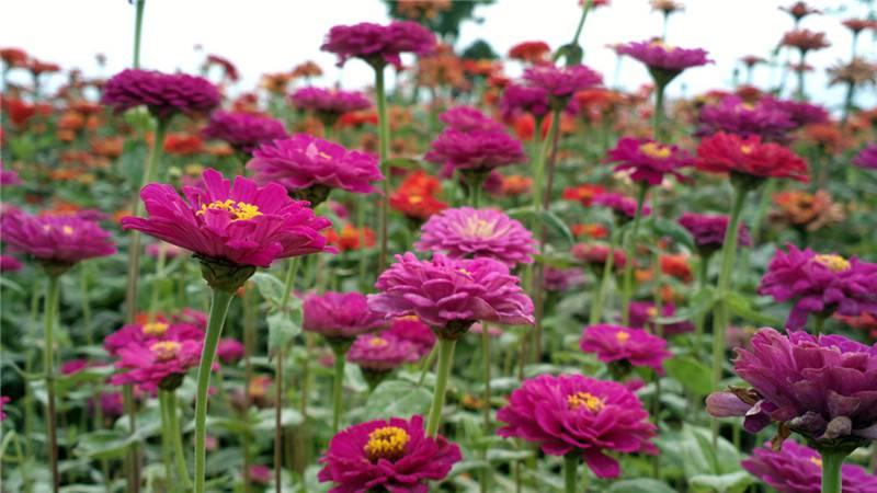 花有百日红——百日草