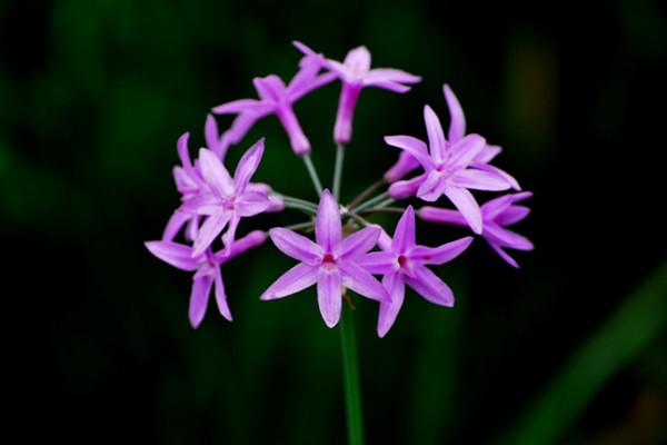 小小紫娇花