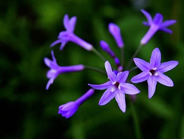铭记在心的紫娇花
