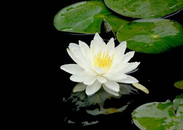 白色梦境——睡莲