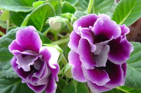 盛开着的紫色大岩桐