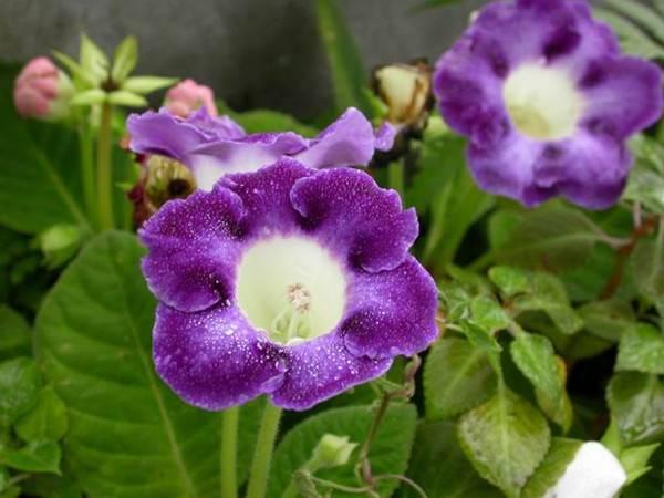 紫色大岩桐美图