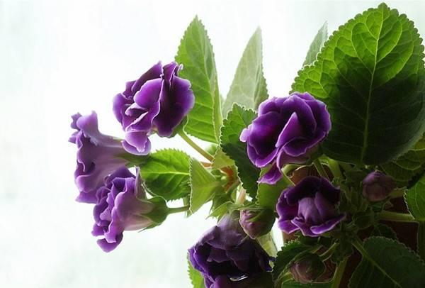 秋天的紫色大岩桐