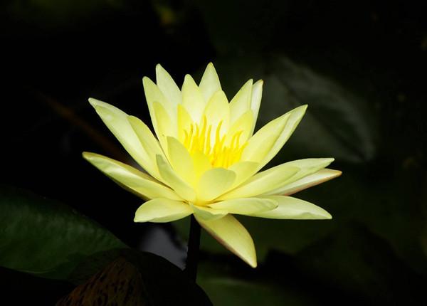 黄色温暖的睡莲