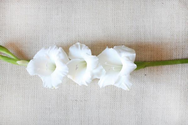 洁白的多花唐菖蒲