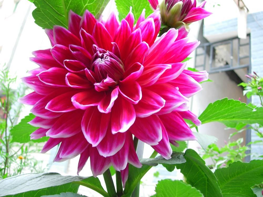 美丽的华紫大丽花