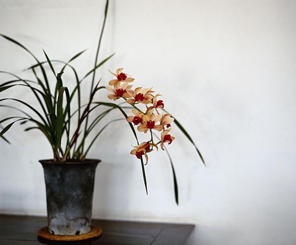 高洁典雅的兰花盆景