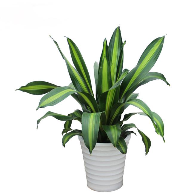 巴西铁观叶植物中的新星