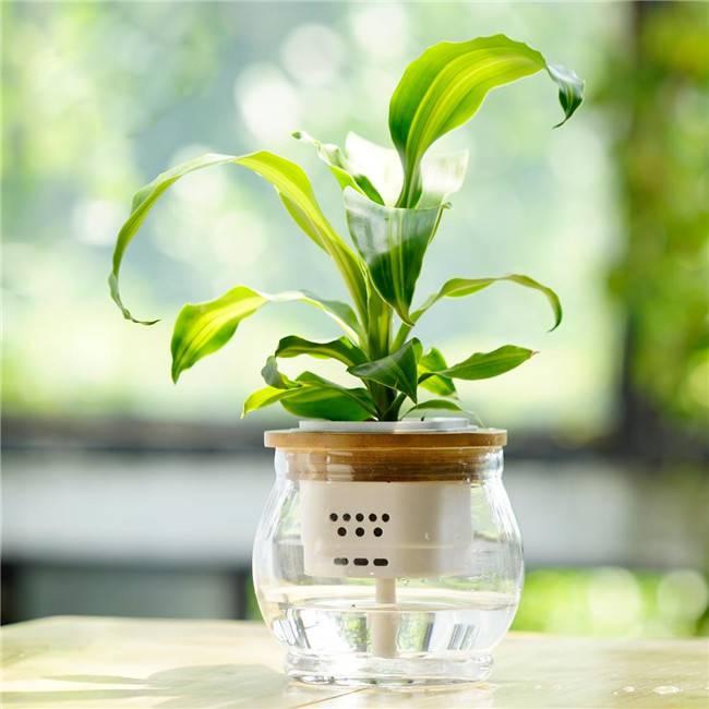 巴西铁:办公室中可大可小的绿色盆栽