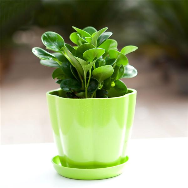 豆瓣绿盆栽