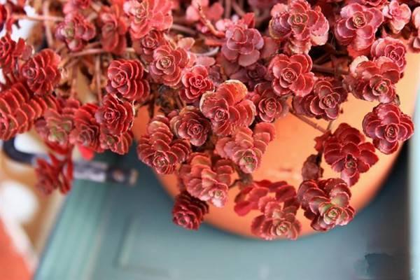 小球玫瑰美图欣赏