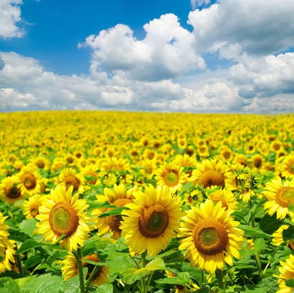 喜欢的向日葵
