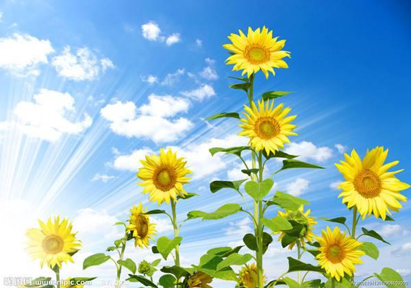 向日葵美图欣赏