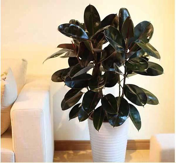 客厅中的橡皮树
