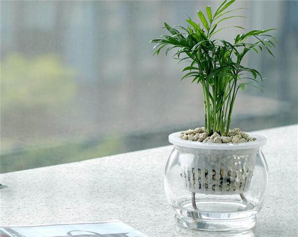 水培袖珍椰子