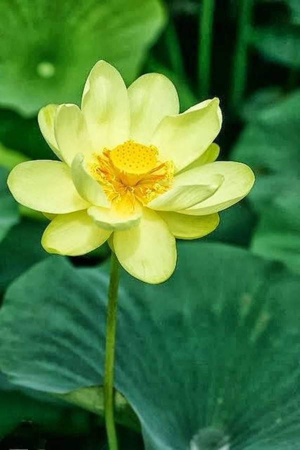 黄色的荷花——暖意春融