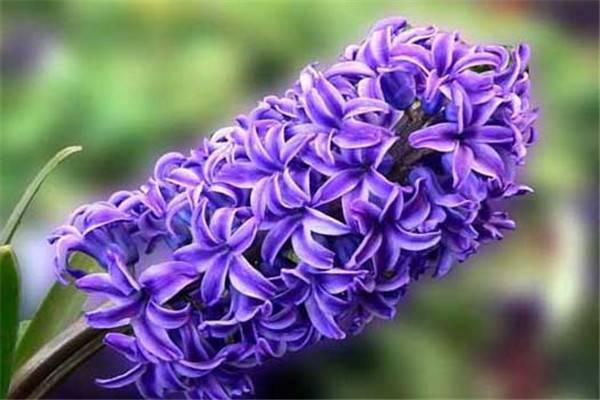 忧郁的爱——紫色风信子