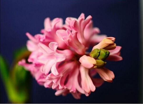 倾慕与浪漫的代言——粉色风信子