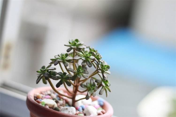 小人祭盆栽