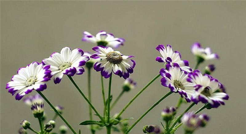 爪叶菊的紫色花边