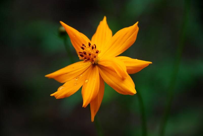 遗世而独立的爪叶菊