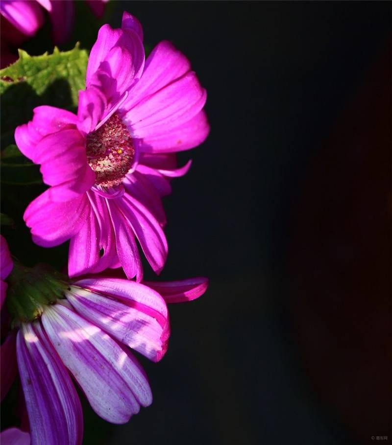 爪叶菊的光影世界