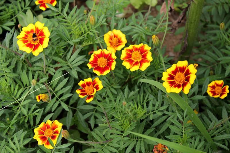 野外的双色金鸡菊