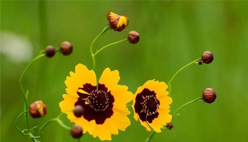 被风吹过的双色金鸡菊