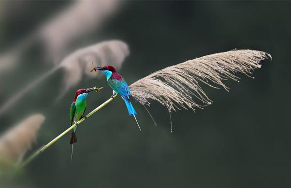 花鸟停息的芦苇