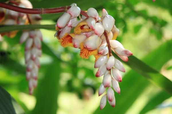 花叶交织的艳山姜