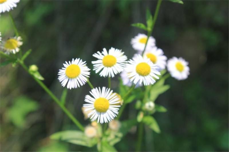 小小的花朵大大的能量——牛膝菊