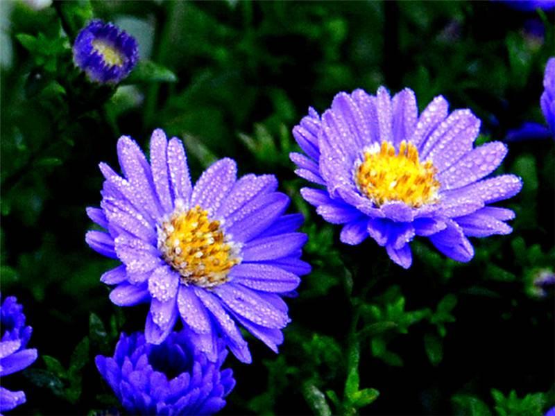 骆驼式的花卉——地被菊