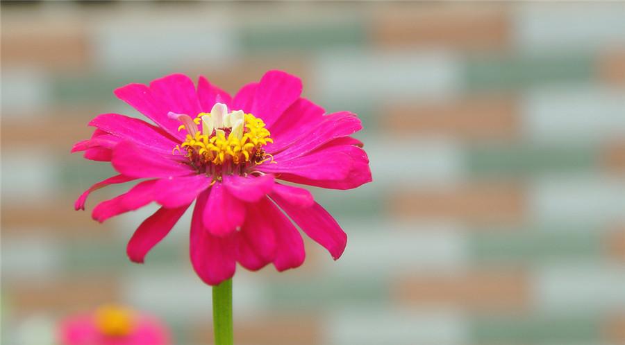 玫红堆心菊