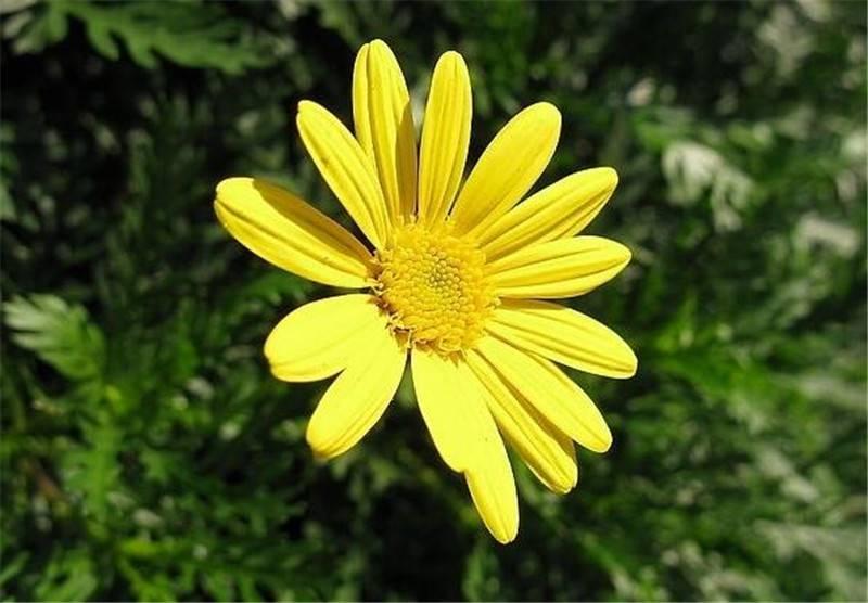茼蒿菊的鲜艳花朵