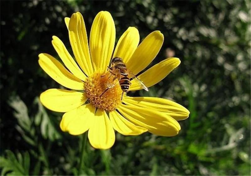 茼蒿菊与蜜蜂为舞