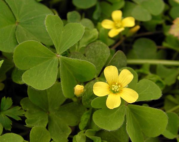 旺盛的黄花酢浆草