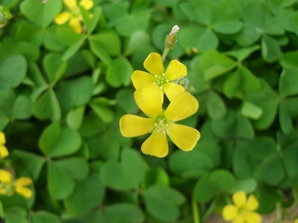 黄花酢浆草