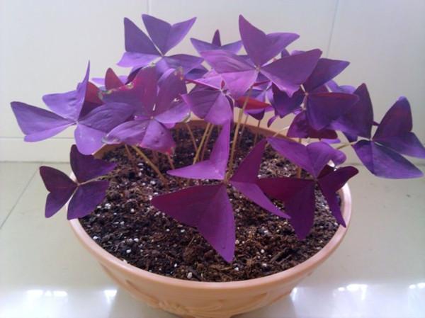 家养紫叶酢浆草