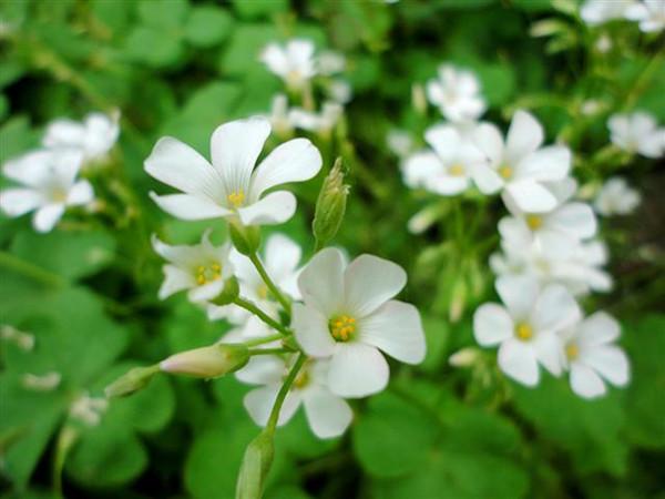 爱尔兰的白花酢浆草