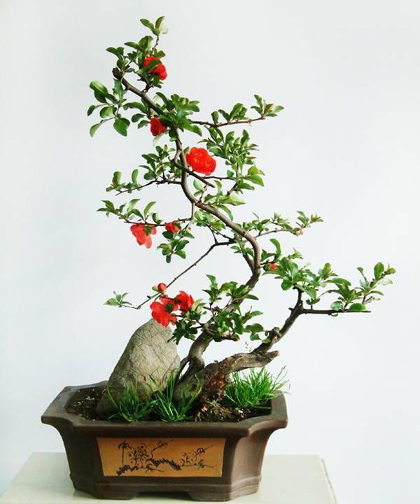 山茶花开,知春来——茶花盆景